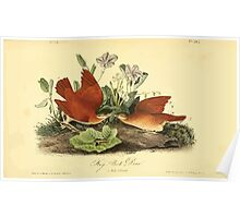 James Audubon Vector Rebuild - The Birds of America - From Drawings Made in the United States and Their Territories V 1-7 1840 - Key West Dove Poster