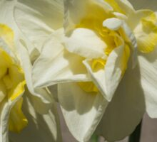 Pastel Yellow Spring - a Pair of Double Daffodils Sticker