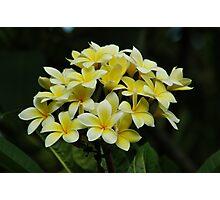 Yellow Frangipanis Photographic Print
