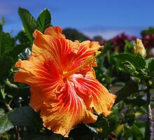 Dazzling Orange Hibiscus on the road to Hana by Marjorie Wallace