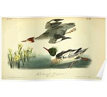 James Audubon Vector Rebuild - The Birds of America - From Drawings Made in the United States and Their Territories V 1-7 1840 - Red Breasted Merganser Poster