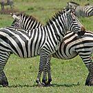 Criss Cross, Ngorongoro Crater, Tanzania by Adrian Paul