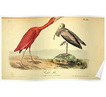 James Audubon Vector Rebuild - The Birds of America - From Drawings Made in the United States and Their Territories V 1-7 1840 - Scarlet Ibis Poster