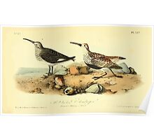 James Audubon Vector Rebuild - The Birds of America - From Drawings Made in the United States and Their Territories V 1-7 1840 - Red Backed Sandpiper Poster