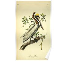 James Audubon Vector Rebuild - The Birds of America - From Drawings Made in the United States and Their Territories V 1-7 1840 - Brown Pelican Adult Poster
