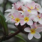 Frangipani (Pink) by tropicalsamuelv