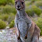 Mother grey kangaroo by Ersu Yuceturk
