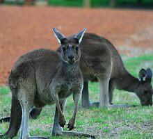 Australian Western Grey Kangaroos by Paula Bone