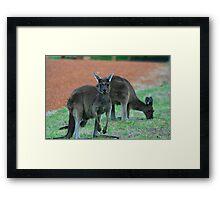 Australian Western Grey Kangaroos Framed Print