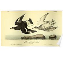 James Audubon Vector Rebuild - The Birds of America - From Drawings Made in the United States and Their Territories V 1-7 1840 - Townsend's Surf Bird Poster