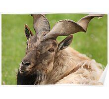 Markhor Goat Poster