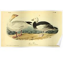 James Audubon Vector Rebuild - The Birds of America - From Drawings Made in the United States and Their Territories V 1-7 1840 - Snow Goose Poster