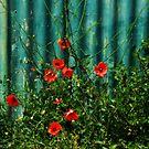 Poppies  by Annemie Hiele