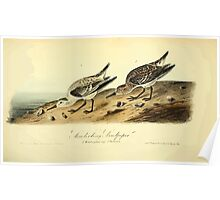 James Audubon Vector Rebuild - The Birds of America - From Drawings Made in the United States and Their Territories V 1-7 1840 - Sanderling Sandpiper Poster