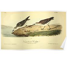 James Audubon Vector Rebuild - The Birds of America - From Drawings Made in the United States and Their Territories V 1-7 1840 - Semipalmated Sandpiper Poster