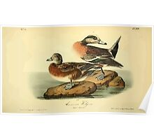 James Audubon Vector Rebuild - The Birds of America - From Drawings Made in the United States and Their Territories V 1-7 1840 - American Widgeon Poster