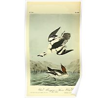 James Audubon Vector Rebuild - The Birds of America - From Drawings Made in the United States and Their Territories V 1-7 1840 - White Merganser Smew or White Nun Poster