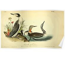 James Audubon Vector Rebuild - The Birds of America - From Drawings Made in the United States and Their Territories V 1-7 1840 - Red Throated Diver Poster