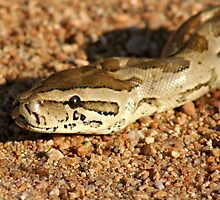 African Rock Python by Sassie Otto