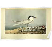 James Audubon Vector Rebuild - The Birds of America - From Drawings Made in the United States and Their Territories V 1-7 1840 - Sandwich Tern Poster