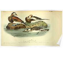 James Audubon Vector Rebuild - The Birds of America - From Drawings Made in the United States and Their Territories V 1-7 1840 - Long-tailed Duck Poster