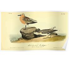 James Audubon Vector Rebuild - The Birds of America - From Drawings Made in the United States and Their Territories V 1-7 1840 - Red Breasted Sandpiper Poster