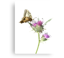 Scarce Swallowtail Butterfly and Thistle Background Removed Canvas Print