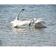 Swan Dance Photographic Print