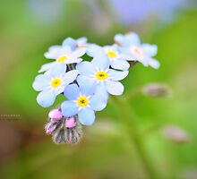 """"""" Forget-me-not My Love """" by Richard Couchman"""