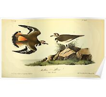 James Audubon Vector Rebuild - The Birds of America - From Drawings Made in the United States and Their Territories V 1-7 1840 - Killdeer Plover Poster