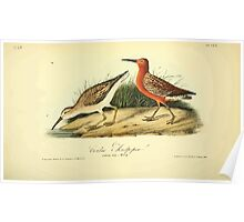 James Audubon Vector Rebuild - The Birds of America - From Drawings Made in the United States and Their Territories V 1-7 1840 - Curlew Sandpiper Poster