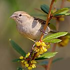 ..hi.. I am Tweetie  Sparrow... by John44