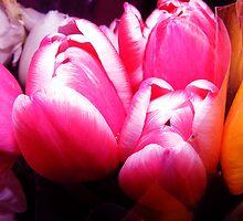 Tulips by gracestout2007
