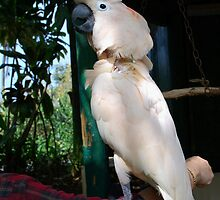 """""""Party Hat"""" ~ Moluccan Cockatoo by Marjorie Wallace"""
