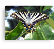 Swallowtail Butterfly Resting on Oleander Leaves Canvas Print