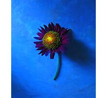 Daisy with Blue Background Photographic Print