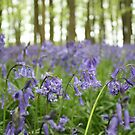 Bluebell woods by Emma Collins