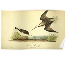 James Audubon Vector Rebuild - The Birds of America - From Drawings Made in the United States and Their Territories V 1-7 1840 - Wilson's Phalarope Poster