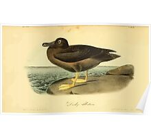 James Audubon Vector Rebuild - The Birds of America - From Drawings Made in the United States and Their Territories V 1-7 1840 - Dusky Albatross Poster