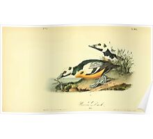 James Audubon Vector Rebuild - The Birds of America - From Drawings Made in the United States and Their Territories V 1-7 1840 - Western Duck Poster