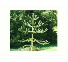 Monkey Puzzle Tree Art Print