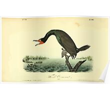 James Audubon Vector Rebuild - The Birds of America - From Drawings Made in the United States and Their Territories V 1-7 1840 - Florida Cormorant Poster