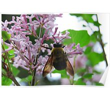 Carpenter Bee Hanging Out on a Lilac Flower Poster