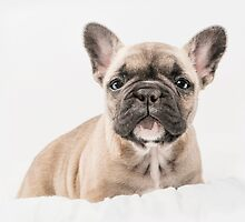First Frenchie  by Andrew Bret Wallis