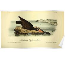 James Audubon Vector Rebuild - The Birds of America - From Drawings Made in the United States and Their Territories V 1-7 1840 - Bachman's Oyster Catcher Poster