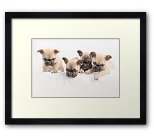 Frenchie Curiosity Framed Print