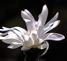 White Magnolia by LudaNayvelt