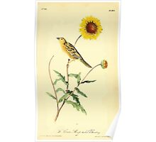 James Audubon Vector Rebuild - The Birds of America - From Drawings Made in the United States and Their Territories V 1-7 1840 - Contis Sharp Tailed Bunting Poster