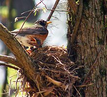 """Mom feeding baby Robins"" by Melinda Stewart Page"