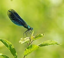 Banded Demoiselle by Sue Robinson